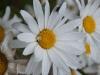 fleurs-36