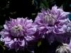 fleurs-47