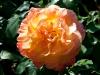 roses-28