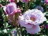 roses-29