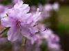 magnolia-11